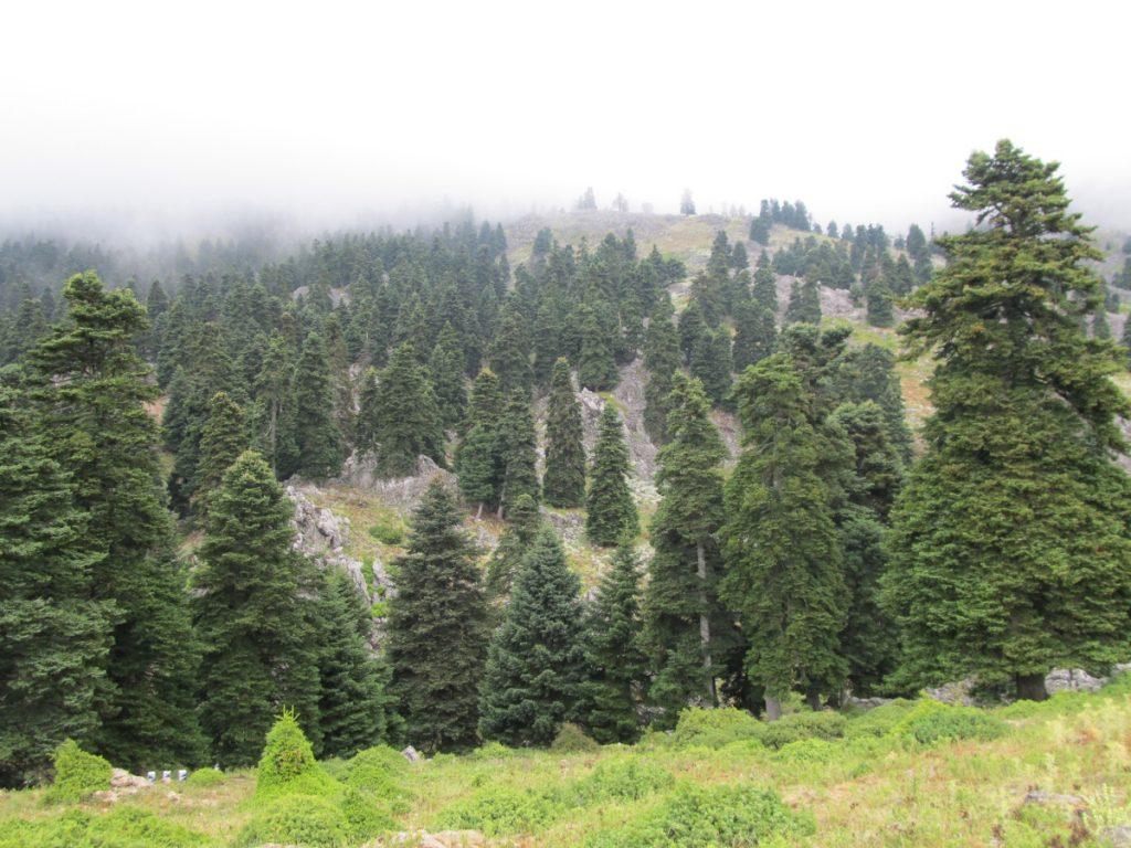 Δάσος Ελάτης